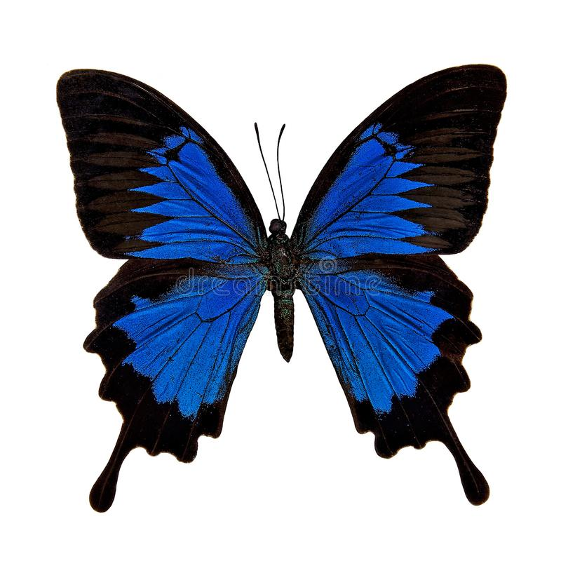 Borboleta: Papilio Ulysses imagem de stock royalty free