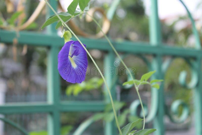 Borboleta Pea Flower fotos de stock