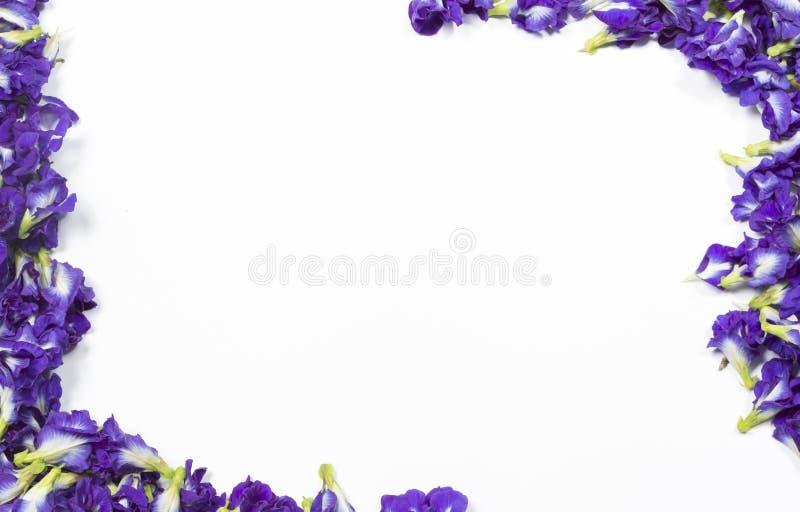 Borboleta Pea Flower imagens de stock