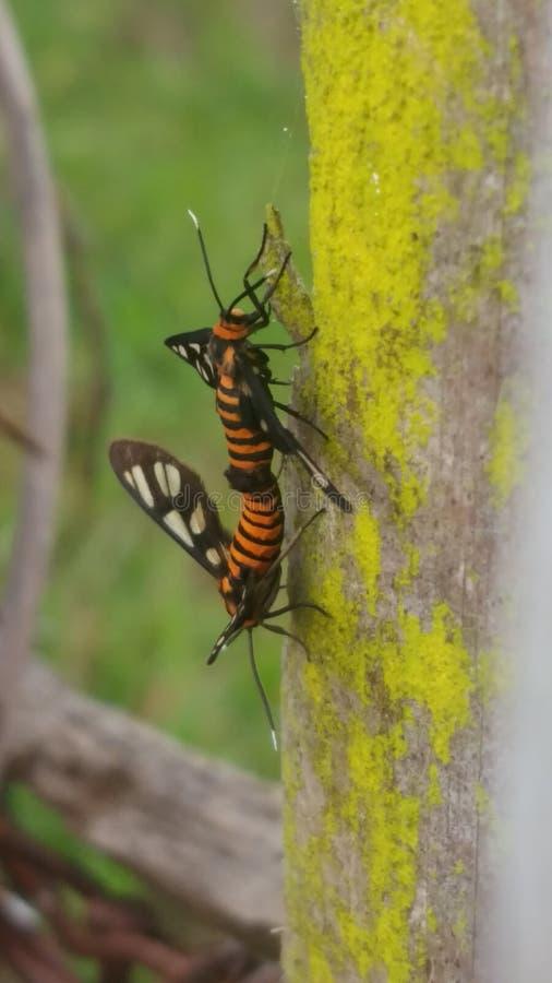 A borboleta pequena do inseto obtém o sexo fotografia de stock