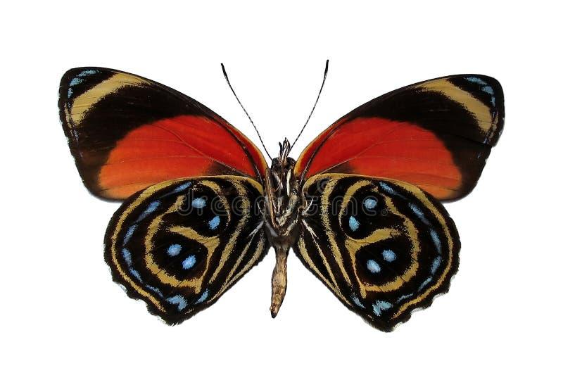 Borboleta peruana colorida, isolada de encontro ao fundo branco imagem de stock royalty free