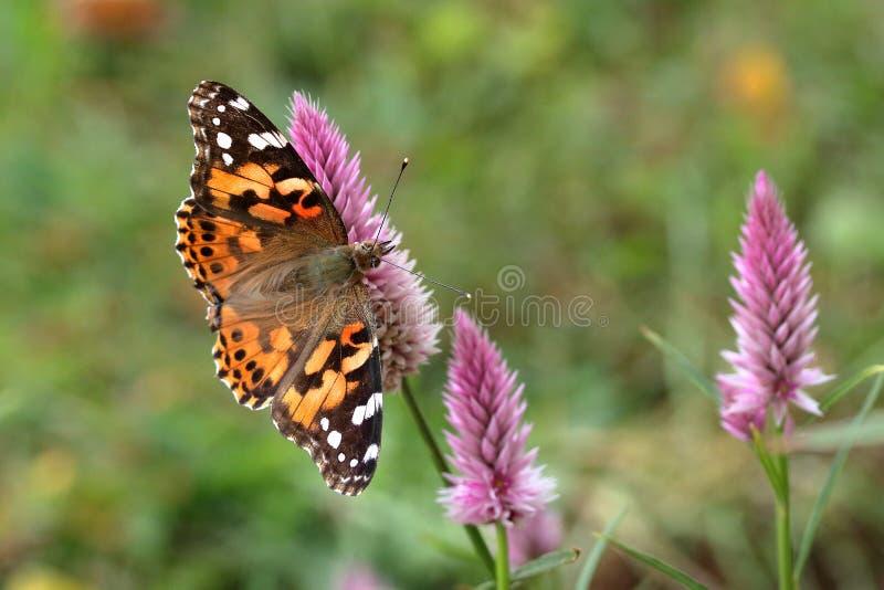 borboleta pintada da senhora foto de stock royalty free