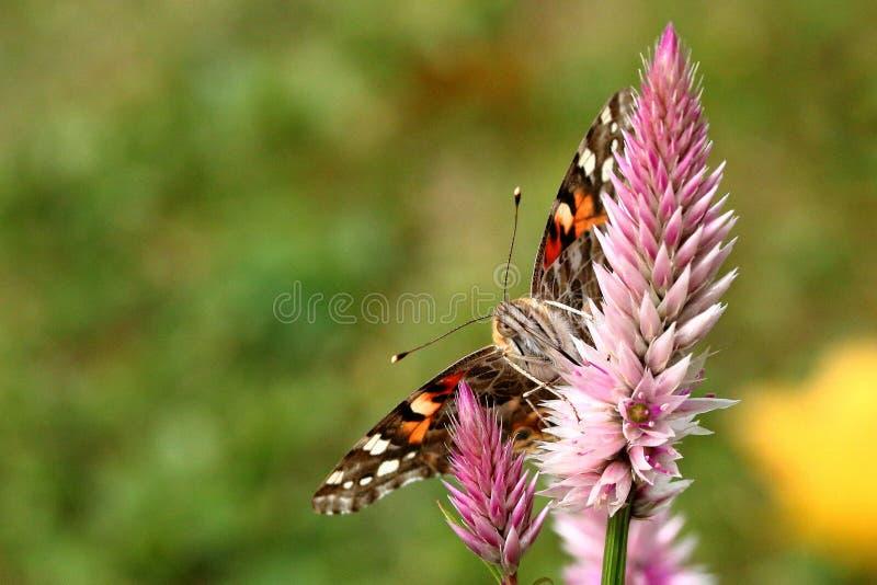 borboleta pintada da senhora imagem de stock