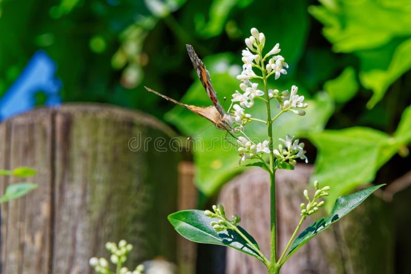 borboleta pintada da senhora na flor branca de uma conversão do alfeneiro fotografia de stock royalty free
