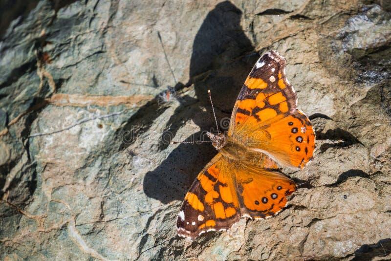 Borboleta pintada que descansa em uma rocha, Califórnia do cardui da senhora Vanessa fotografia de stock