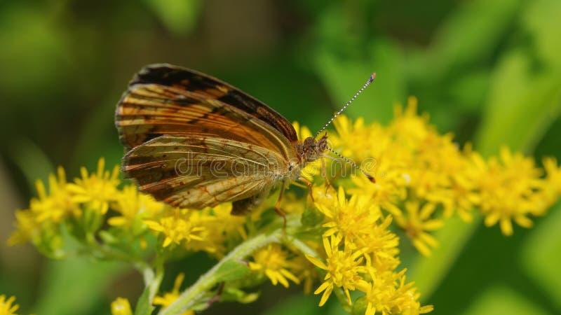 Borboleta possivelmente um wildflower goldenrod amarelo da espécie crescente nas pastagem da área dos animais selvagens dos prado imagens de stock