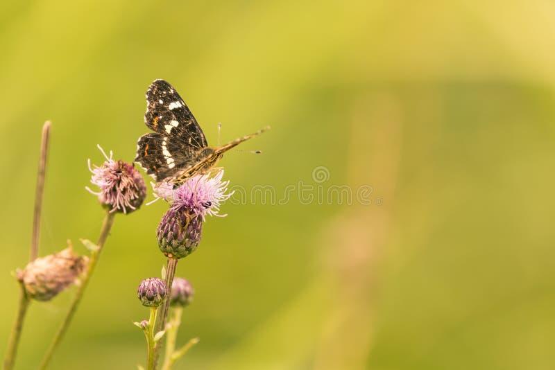A borboleta preta agradável é empoleirada na flor roxa do cardo fotografia de stock royalty free