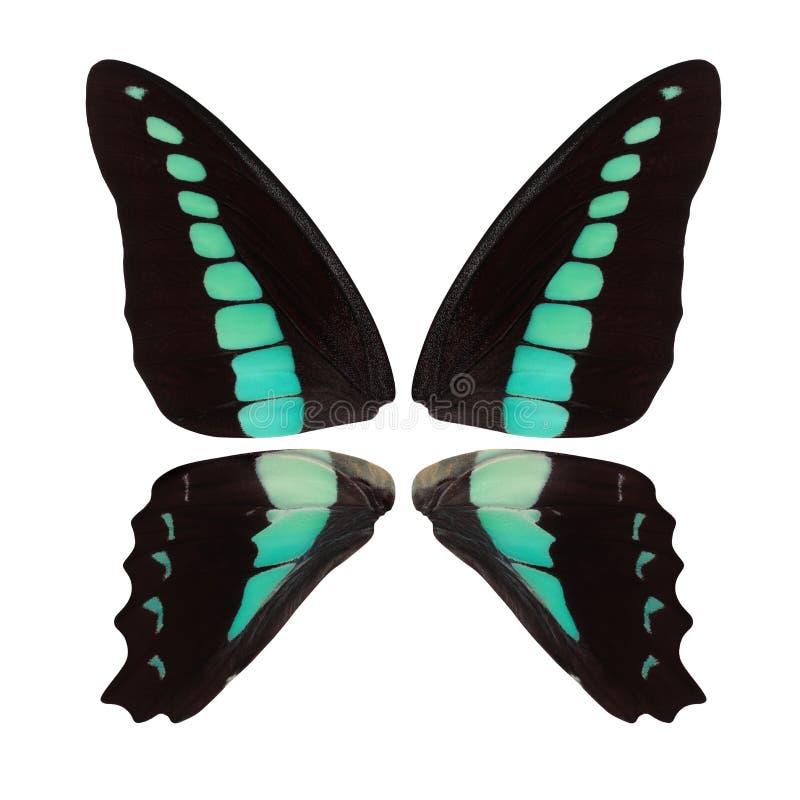 A borboleta preta bonita voa com os pontos de turquesa isolados no fundo branco imagem de stock