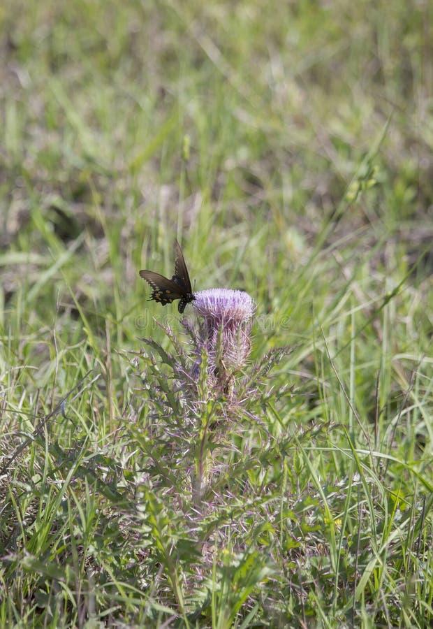 Borboleta preta de Swallowtail foto de stock