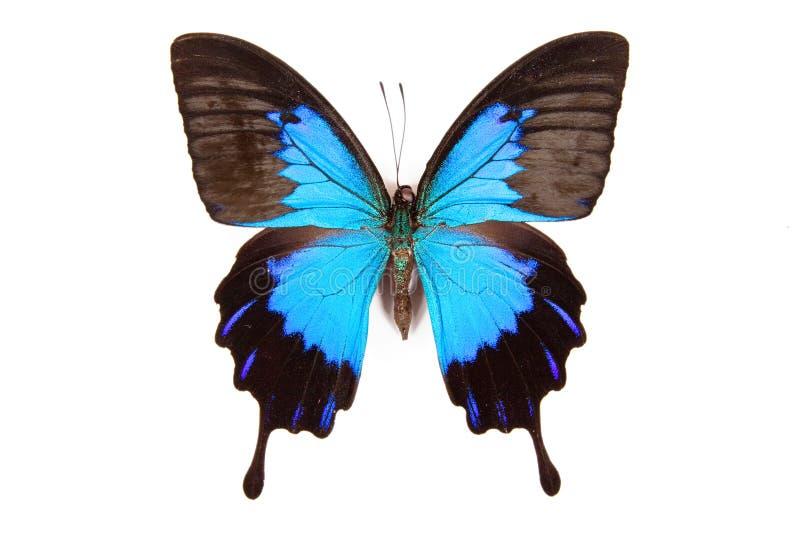 Borboleta preta e azul Papilio ulysses isolado imagens de stock