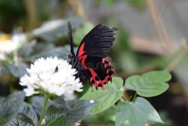 Borboleta preta e vermelha na flor branca imagem de stock royalty free