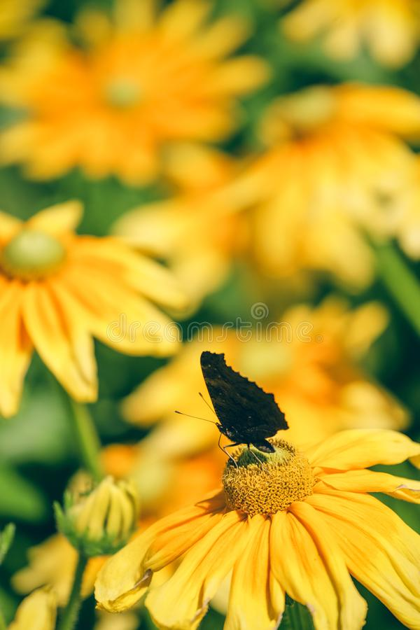 Borboleta preta escura em lindas flores amarelas e laranja foto de stock