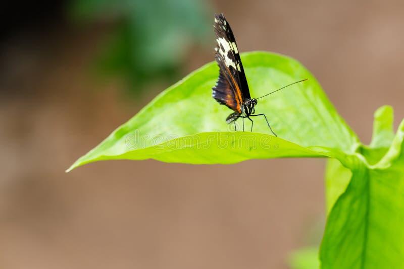 Borboleta preta exótica na folha do verde vívido foto de stock