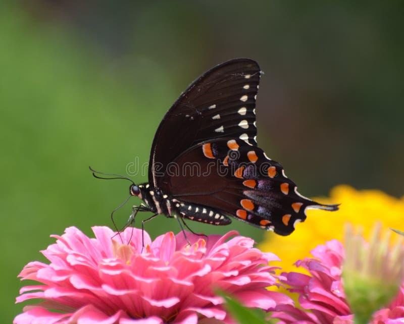 Borboleta preta na flor imagens de stock