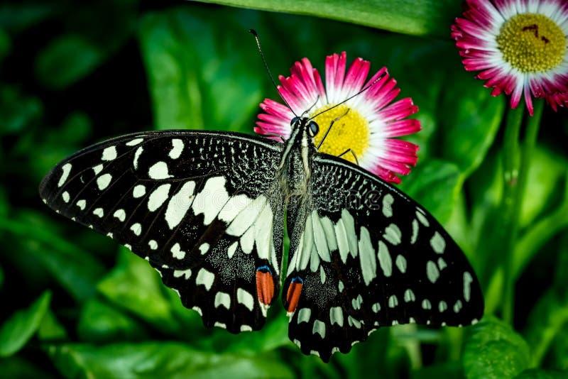 Borboleta preta na flor magenta foto de stock