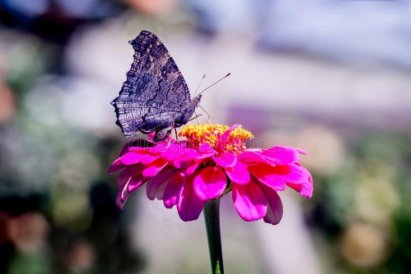 A borboleta preta senta-se em uma flor cor-de-rosa no jardim no weather_ ensolarado fotos de stock