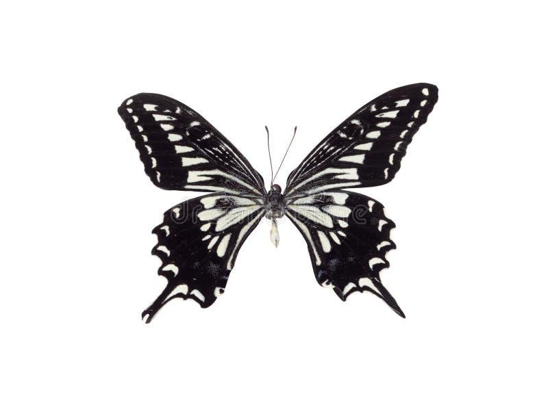 Borboleta preto e branco imagens de stock royalty free
