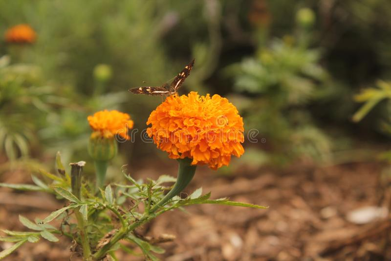 Borboleta que beija uma flor fotografia de stock royalty free