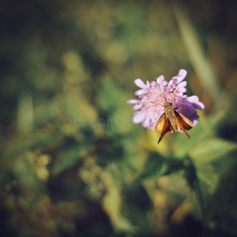 Borboleta que senta-se em uma flor cor-de-rosa no fundo verde em um sol fotografia de stock royalty free