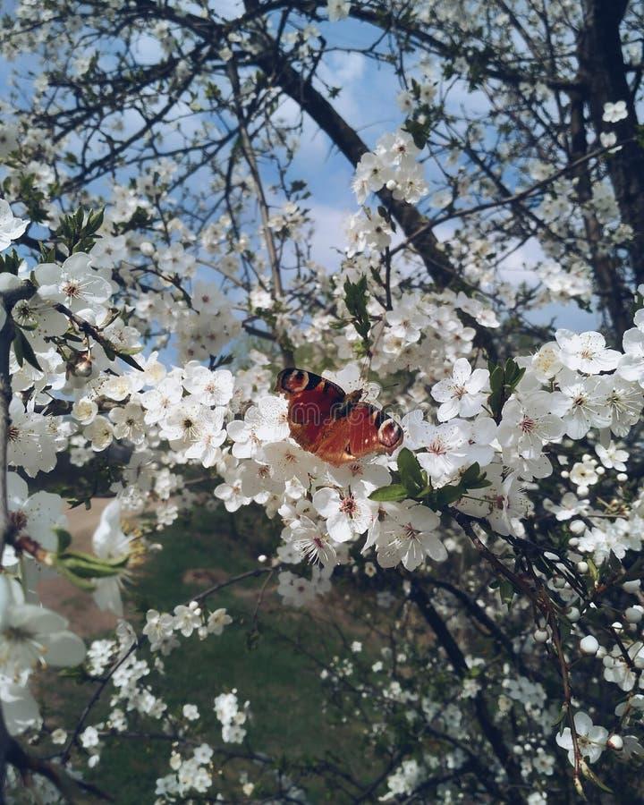 Borboleta que senta-se na árvore da flor da maçã no dia ensolarado da mola foto de stock