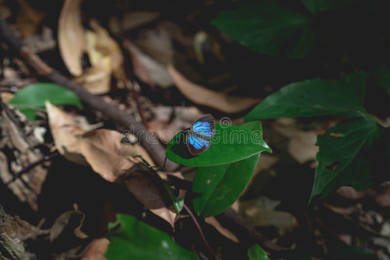 Borboleta rara com as asas pretas e azuis imagem de stock royalty free