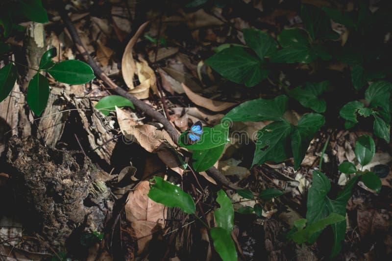 Borboleta rara com as asas pretas e azuis fotografia de stock