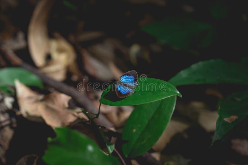 Borboleta rara com as asas pretas e azuis imagens de stock