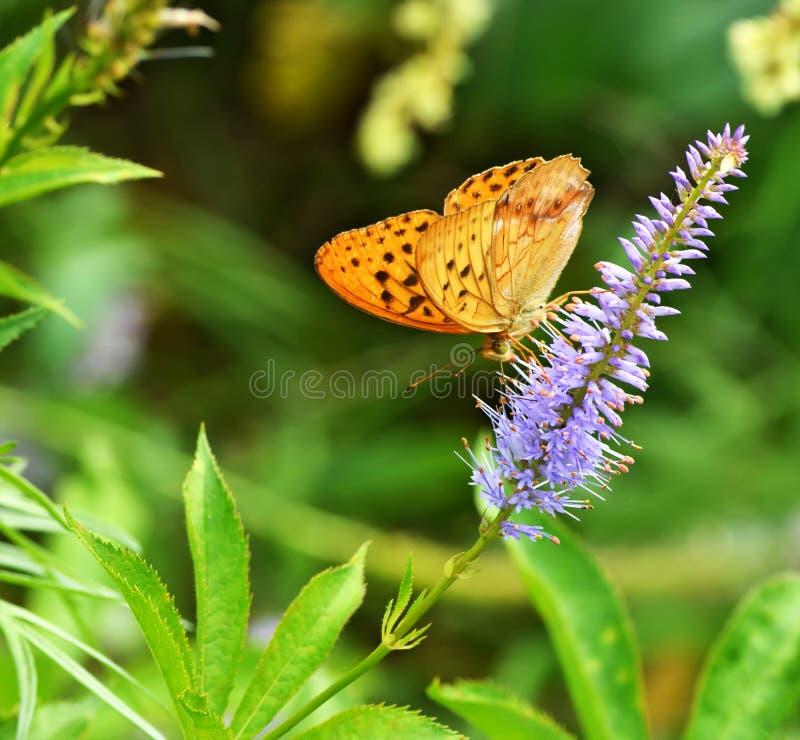 A borboleta recolhe o néctar da flor fotos de stock
