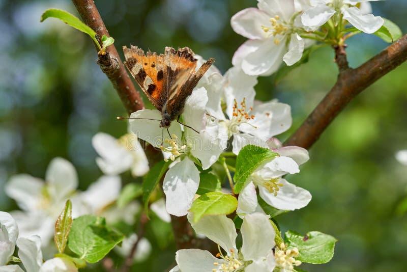 A borboleta recolhe o n?ctar nas flores da ?rvore de Apple na mola fotografia de stock royalty free