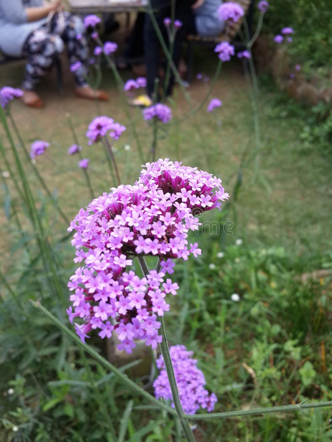 Borboleta roxa da flor fotos de stock royalty free