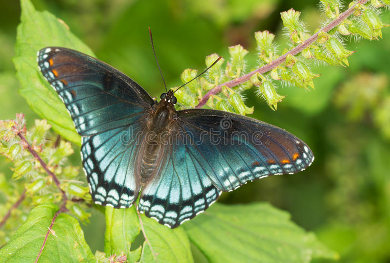 borboleta roxa Vermelho-manchada do almirante fotos de stock