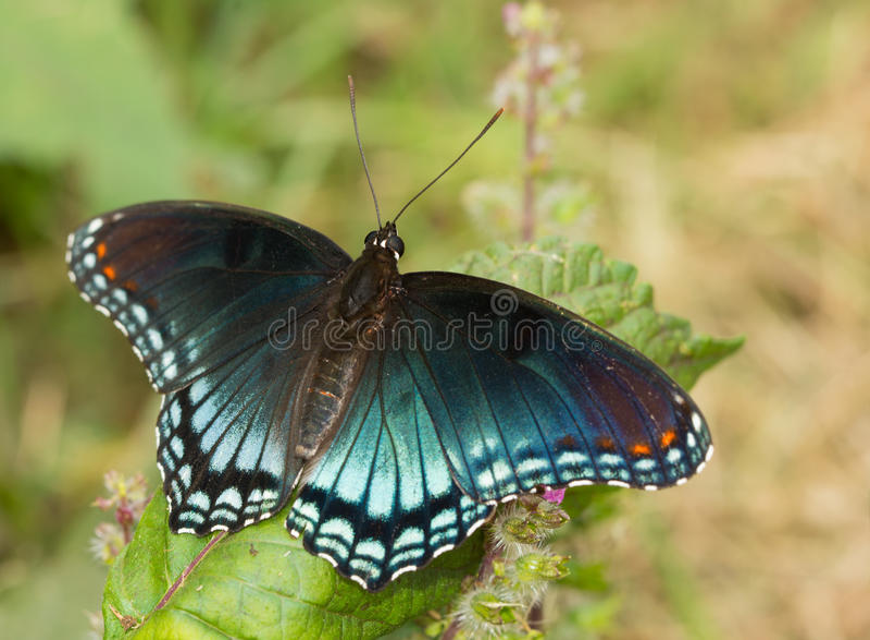 borboleta roxa Vermelho-manchada do almirante fotos de stock royalty free