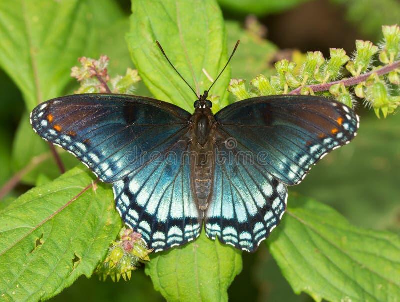 borboleta roxa Vermelho-manchada do almirante imagens de stock royalty free