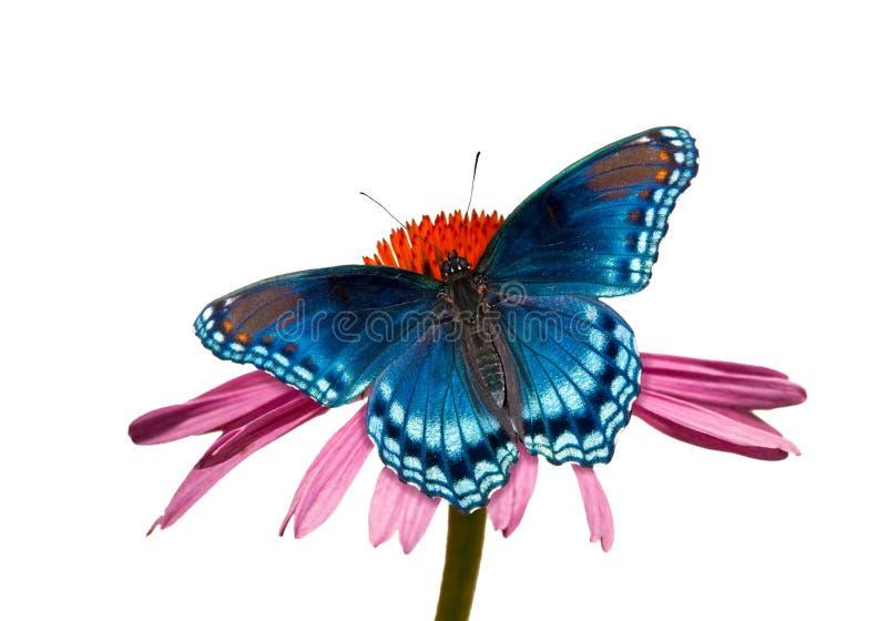 borboleta roxa Vermelho-manchada do almirante em Coneflower imagem de stock royalty free