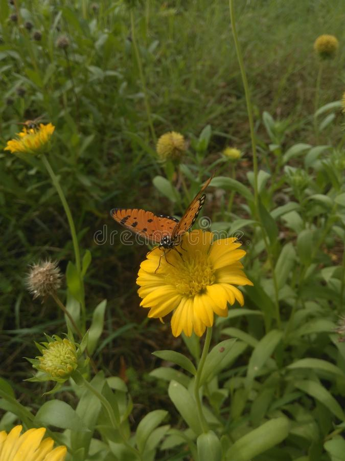 A borboleta seleciona o pólen a flor imagem de stock