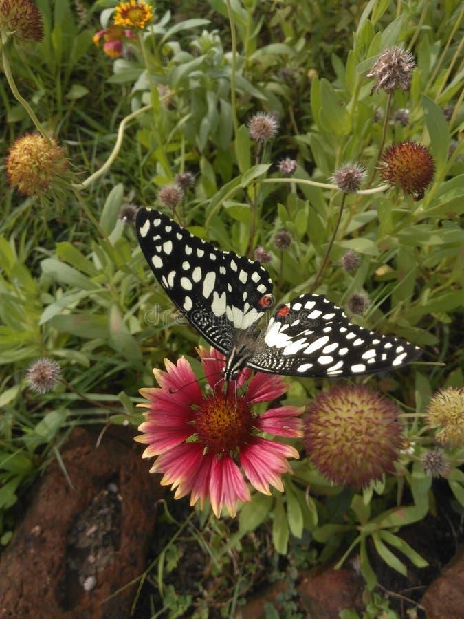 A borboleta seleciona o pólen a flor fotografia de stock