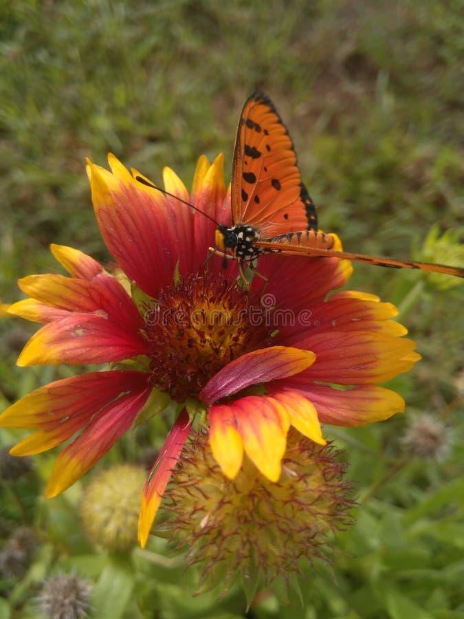 A borboleta seleciona o pólen a flor imagem de stock royalty free
