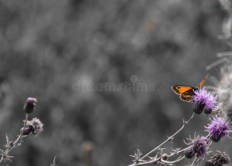 A borboleta senta-se em uma flor cor-de-rosa imagens de stock