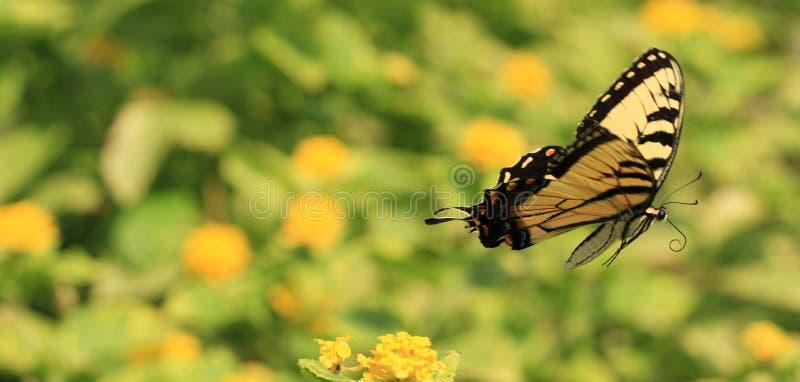 Borboleta Swallowtail foto de stock