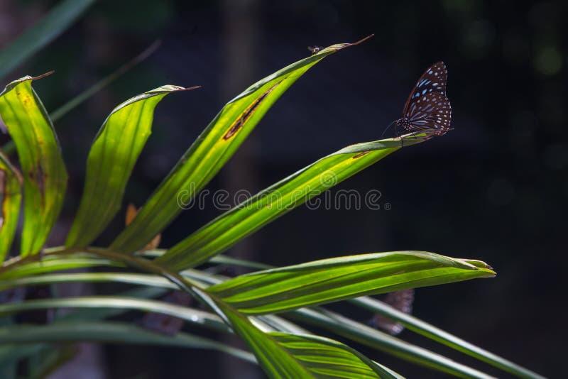 Borboleta - tigre vítreo azul com fundos do bokeh imagens de stock royalty free