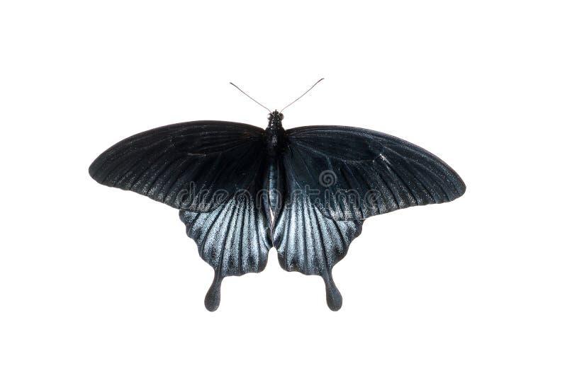 Borboleta tropical com as asas pretas e azuis, isoladas no fundo branco foto de stock royalty free