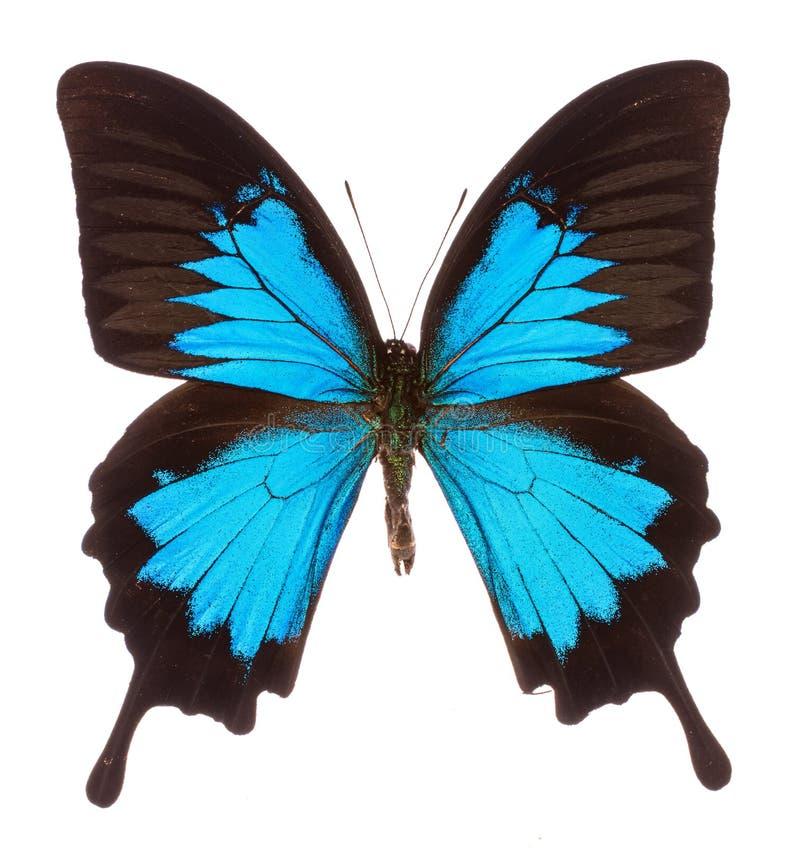 A borboleta tropical de Papilio ulysses isolou-se foto de stock