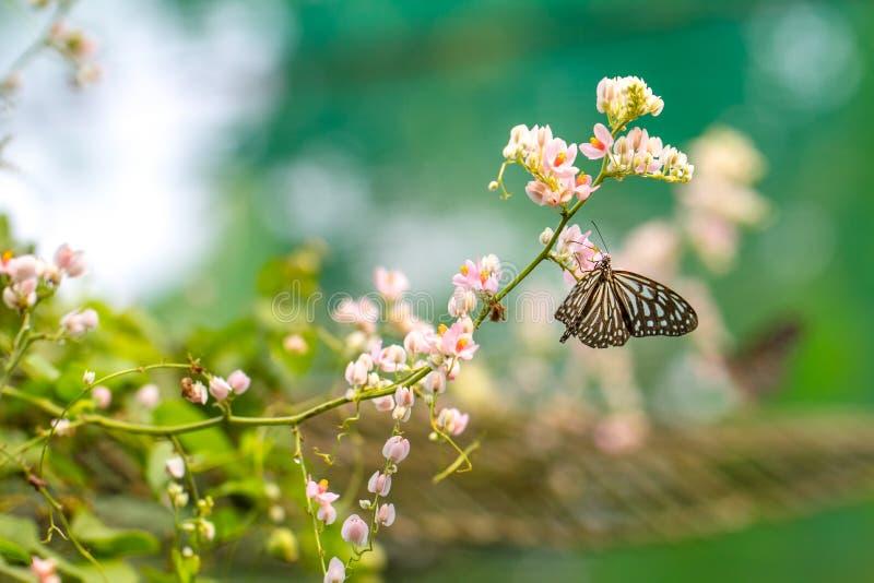 Borboleta vítreo azul bonita do tigre em um jardim fotos de stock royalty free