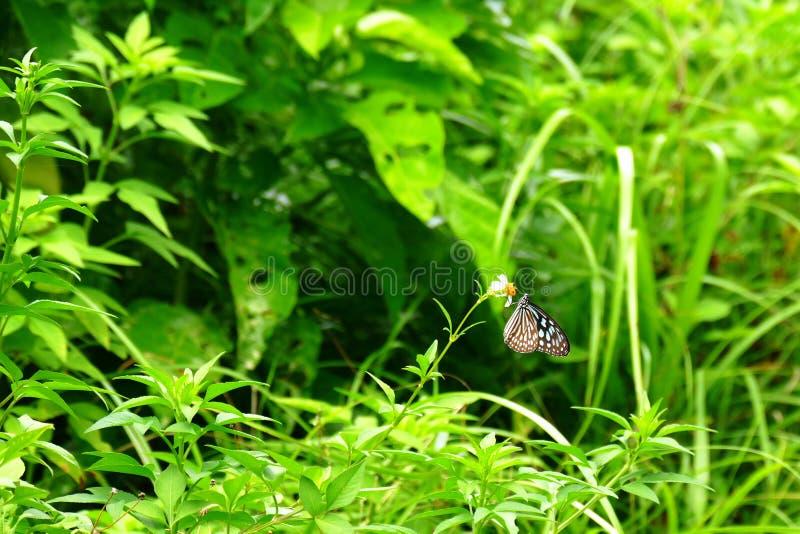 Borboleta vítreo azul empoleirada em uma flor, Zamami do tigre, Okinawa fotografia de stock