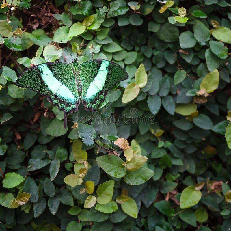 Borboleta verde e branca que descansa em um arbusto das folhas verdes imagem de stock