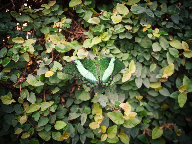 Borboleta verde e branca que descansa em um arbusto das folhas verdes imagens de stock