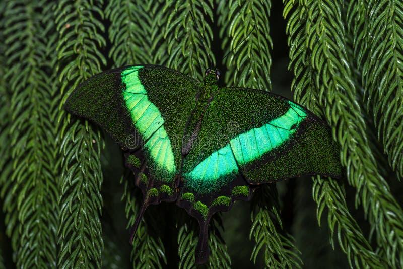 Borboleta verde fluorescente que relaxa em uma folha imagem de stock