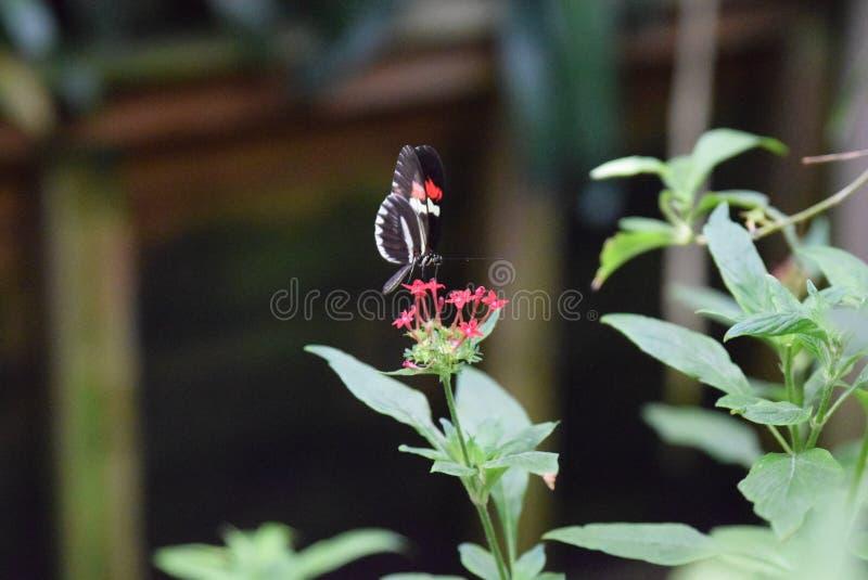 Borboleta vermelha e branca preta fotos de stock