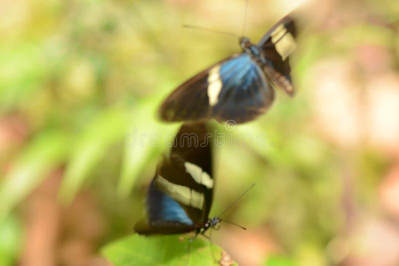 borboletas imagem de stock