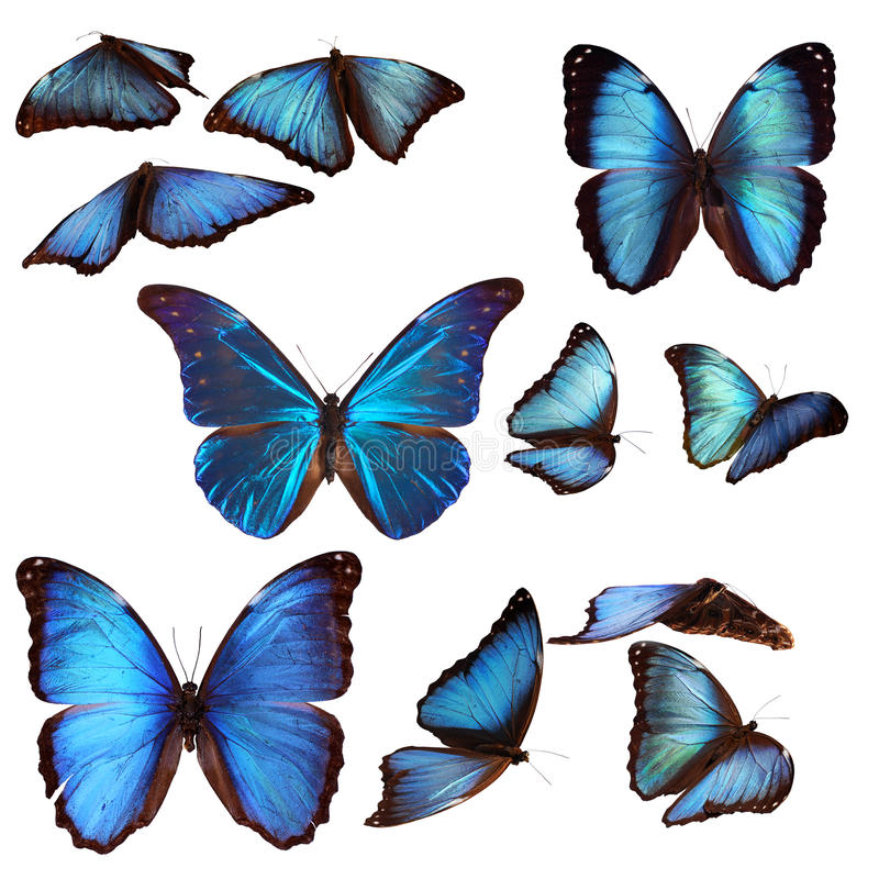 Borboletas azuis do morpho foto de stock